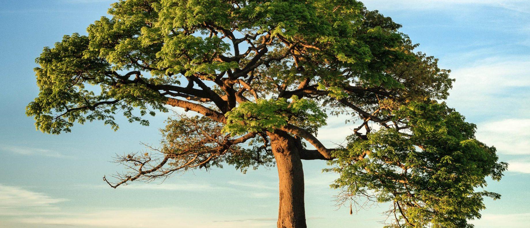 A lone mature tree in the sun